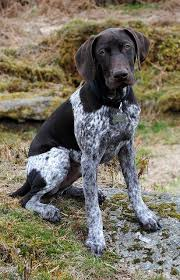 german shorthaired pointer shed best 25 haired breeds ideas on haired