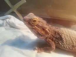 Bearded Dragon Shedding In Patches by Baby Has Dark Nose Patch Shedding Or Bruise O Bearded Dragon Org