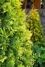 Leyland Cypress Christmas Trees Louisiana 21 best allergy asthma triggering plants to avoid images on