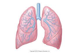 Human Anatomy and Physiology II