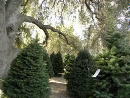 Christmas Tree Cutting Permits Colorado Springs by Christmas Trees