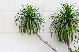 drachenbaum gegen formaldehyd bild 5 schöner wohnen