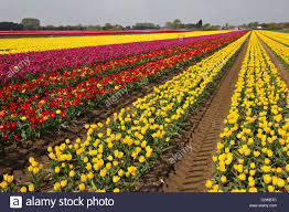 multi coloured fields of tulip bulbs grown commercially at
