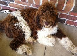 Non Shedding Dogs Large by About Labradoodles