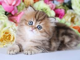 tea cup cat unrealistic expectations micro persians are they real ultra