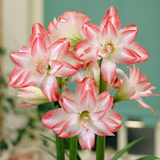 amaryllis get big beautiful blooms indoors the high country