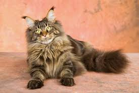 haired cats cat coat types choosing the right cat for you cats guide