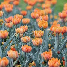 tulipa orange princess late tulip