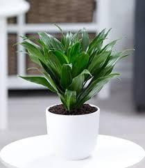 dracena compacta 1 pflanze drachenbaum drachenlilie zimmerpflanze