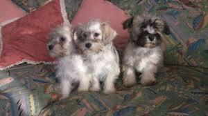 Do Giant Schnauzer Dogs Shed Hair by Bichon Frise Cross Miniature Schnauzer Puppies Egham Surrey
