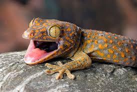 Crested Gecko Shedding Behavior by 01 Tokay Gecko Jpg Jpeg Image 2048 1371 Pixels Scaled 65