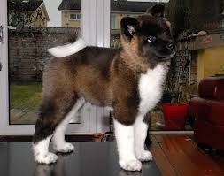 Does Akita Shed A Lot by 12 Best Akitas Images On Pinterest American Akita Akita And Puppies