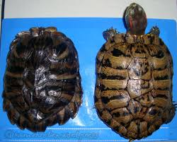 Turtle Shell Not Shedding Properly by Turtle Fact 8 Changing Shell Color Underneath The Shell
