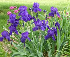 how to use iris in your flower borders and keep the foliage