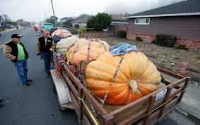 Pumpkin Contest Winners 2015 by California Contest Dubs 1 969 Pound Pumpkin The Plumpest Kgbt
