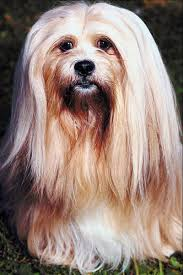 My Lhasa Apso Is Shedding Hair by Lhasa Apsos U0026 Dry Eyes Pets