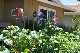 Orlando Pumpkin Patches 2014 by Pumpkin U0027s Progress Growing Like A Weed U2013 Gardening Nirvana