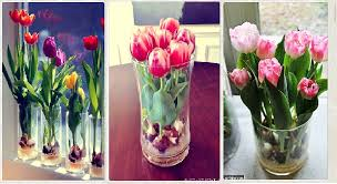growing tulips indoors steps to forcing tulip bulbs sam