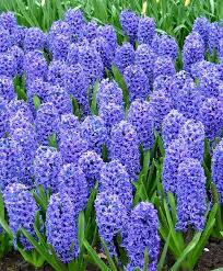49 best hyacinth images on bulbs bulb and ls
