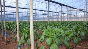 100 Glass House Project Northern Glasshouse Project To Secure 250 Jobs Good Fruit Vegetables
