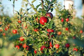 Harbes Apple Picking