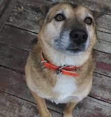 Do Shiba Dogs Shed by Ever Wonder What A Shiba Inu And Alaskan Malamute Would Make