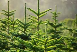 Types Of Christmas Trees In Oregon by Giving Tree Greenville