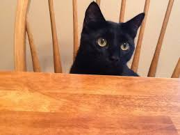 bombay cats black domestic shorthair or bombay or a mix the cat site
