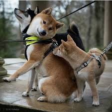 Do Shibas Shed A Lot by 637 Best Shiba Inus Images On Pinterest Adorable Animals Akita