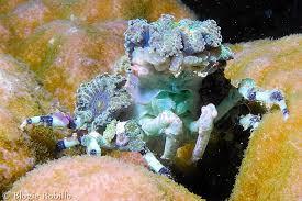 decorator crabs eat fish the corallimorph decorator crab whats that fish