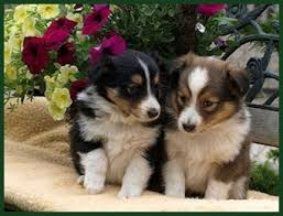 Sheltie puppies Pet Shetland SheepdogTwo s