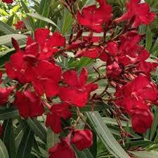 laurier à fleurs rouges mon