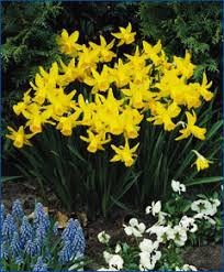 selections from the engelen flower bulbs catalog february gold