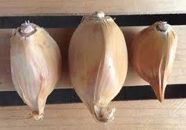 garlic bulbs for sale farmer