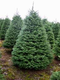 Kinds Of Christmas Trees by Best 25 Types Of Fir Trees Ideas On Pinterest Types Of Pine