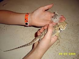 keeping bearded dragons as pets
