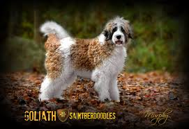 Non Shedding Large Dogs by Goliath Saintberdoodles