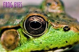 Do Aquatic Dwarf Frogs Shed Their Skin by Fun Facts About Frogs Shed Blog Garden Buildings Direct