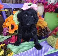 do cavapoos shed a lot best 25 cavapoo breeders ideas on cavapoo rescue