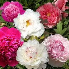 pivoine herbacee en pot collection jardin de pivoines 6 pivoines 2 arbustives 4