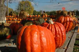 Pumpkin Patches Maryland Heights Mo by Pumpkin Patch In Florissant Missouri Sullivan Farms Halloween