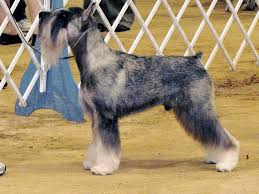 Best Guard Dogs That Dont Shed by Five Great Dog Breeds That Don U0027t Shed Much Pethelpful