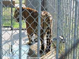 Yes, There Really IS A Tiger At A Truck Stop | Free Tony The Tiger A Fight Over Tony A Tiger The New York Times These 10 Unbelievable Truck Stops Have Roadside Flair You Dont Want Trey Schmaltz On Twitter Camel Is Now In The Cage Of Tiger True Blood Star Kristen Bauer Sking Her Teeth Owner Stop Fighting To Save Live Exhibit Truck Stop Celebrates National Driver Appreciation Week Yes There Really Is At Free Wells Local White Should Relocate Big Cats Jobyronkuhnercom Photos 72011 Courtesy M Haik Louisiana Truckstop Dies Age 17 Recommended Stops Southern Us Roadmaster Drivers School