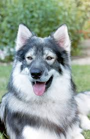 Low Shedding Dogs In India by Northern Inuit Dog