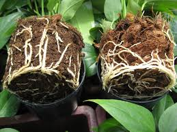 growing advies root problems anthura