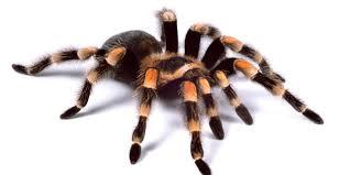Pumpkin Patch Tarantula For Sale by 827 Best Tarantula U0026 Scorpion Images On Pinterest Scorpion