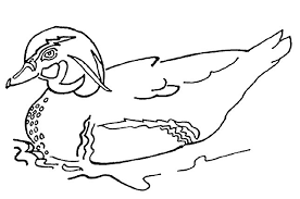 Duck Coloring Page 17597 Within Mallard