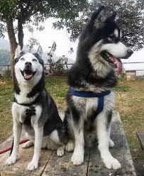 siberian husky vs alaskan malamute k9 research lab