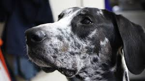 Dogs That Shed The Most Least by The 10 Dog Breeds That Bark The Least U2013 Iheartdogs Com