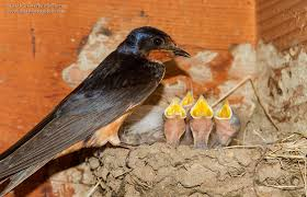 Barn Swallow Chicks - YouTube Lil Bird By Foxeaf Golondrina Swallow Hirondelle Pinterest Birds Swallows Including Barn And Tree Behavior In The Yard Networks On Wing Hawkmoth Ed Newbold Arriving Critical Breeding Season Hirundo Rustica Perched Edge Of A Dock Mud Hinterland Whos Who North America Online Nature Canada Bank Legally Listed As Threatened The Is Slowly Conquering World Audubon Mdc Discover